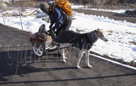 In Idaho, Moss the Greyhound pulls Conner the Schnauzer in his Custom Dog Cart. Note the cold weather gear on both dogs.